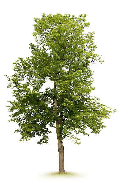 linden arbre - arbre à feuilles caduques photos et images de collection
