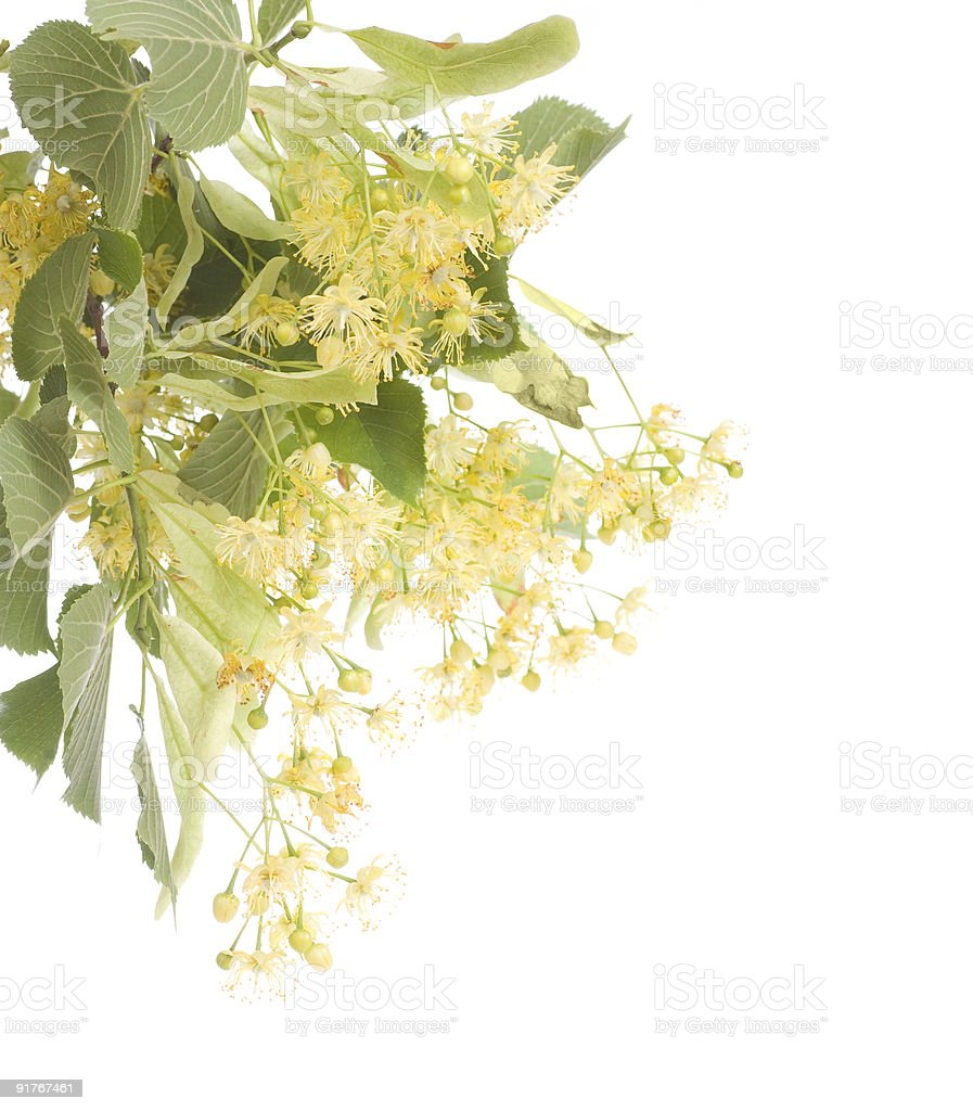 Linden Tree royalty-free stock photo
