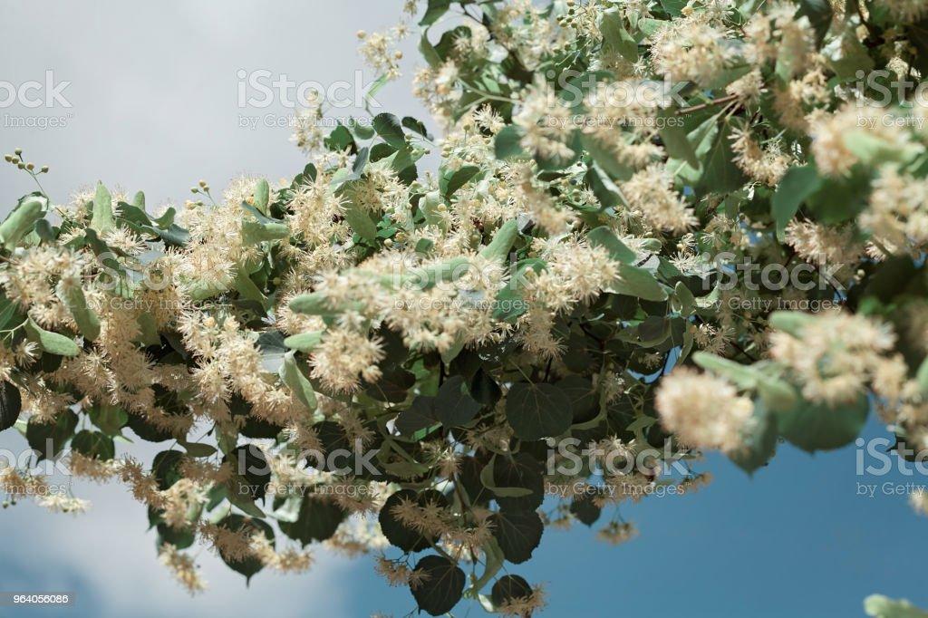 Linden tree - Royalty-free Blossom Stock Photo
