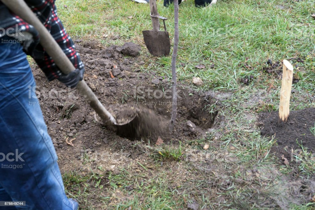 Linden tree planting. stock photo