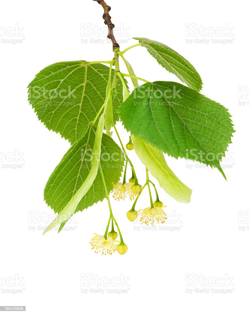 Linden twig and flower stock photo