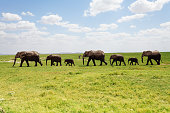 A line of elephants family walking along the grasslands of Africa