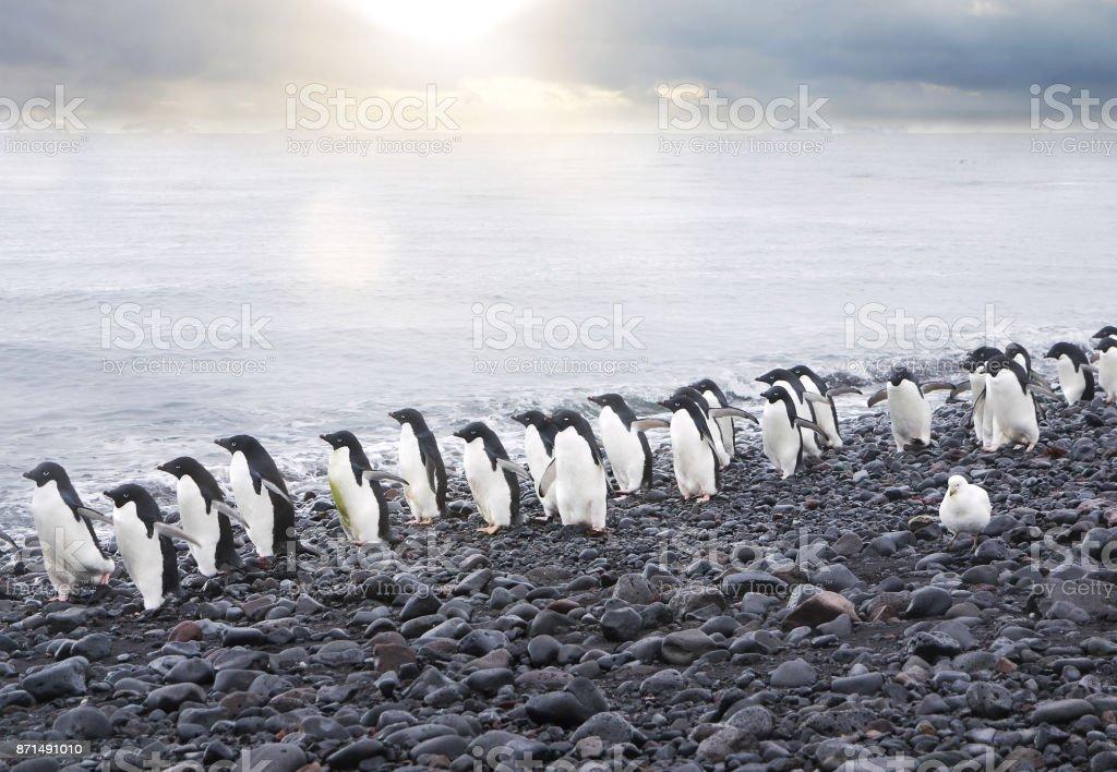 A line of adelie penguins (pygoscelis adeliae) walking toward the camera along the water's edge on a black pebble beach on Paulet Island, Antarctica. stock photo