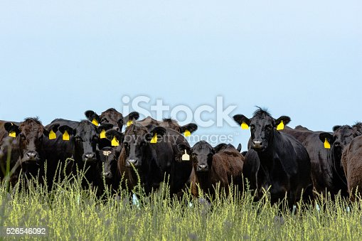 Line of black Angus cattle looking at the camera with blank blue sky