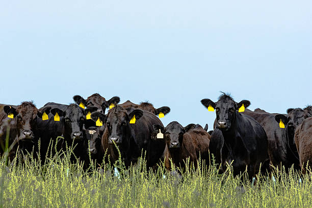 Line of Angus cattle Line of black Angus cattle looking at the camera with blank blue sky cattle stock pictures, royalty-free photos & images