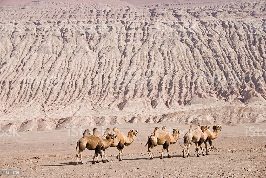 Line of Bactrian Camels in China / XInjiang Province royalty-free stock photo