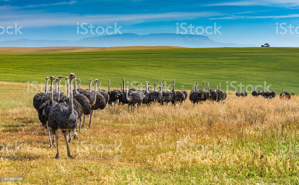 Line of female ostriches on a South Africa ranch stock photo