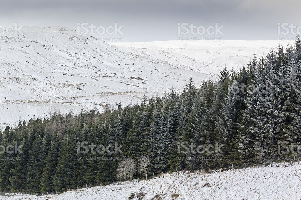 Line of fur trees in snow royalty-free stock photo