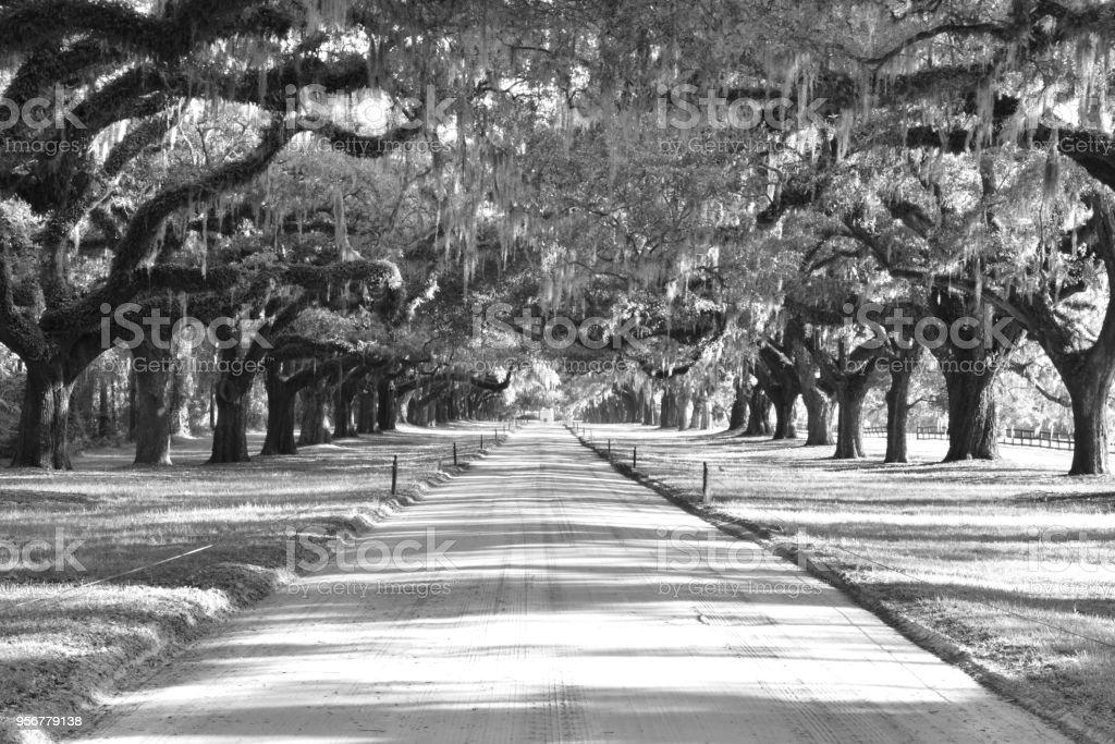 Line of oak tress in South Carolina stock photo