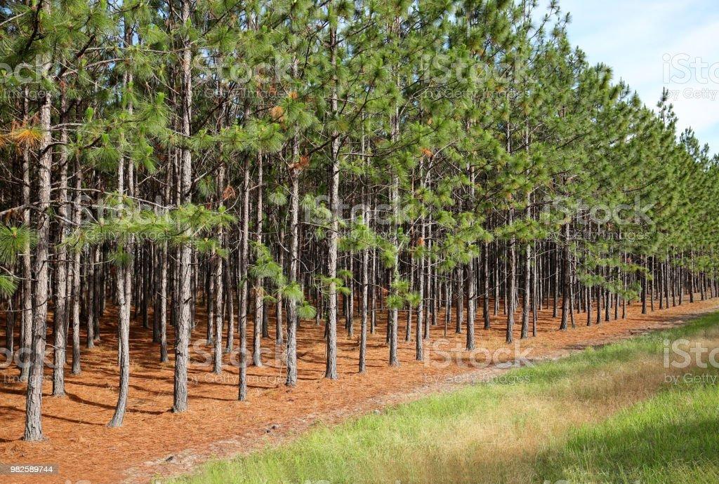Line of pine trees stock photo