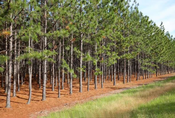 line of pine trees - industria forestale foto e immagini stock