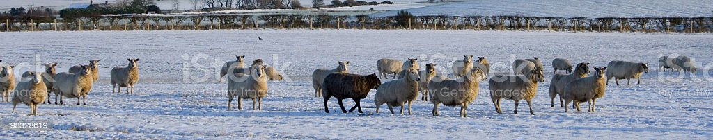 Line of sheep in snow royalty-free stock photo
