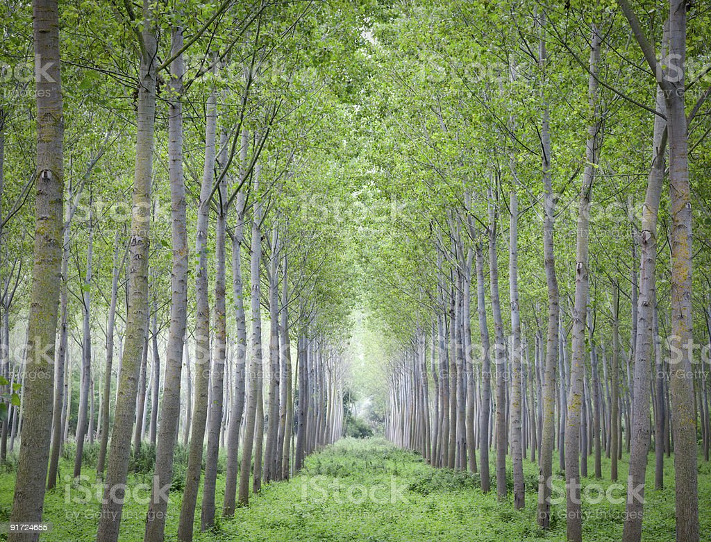 Line of trees in a cultivation stock photo