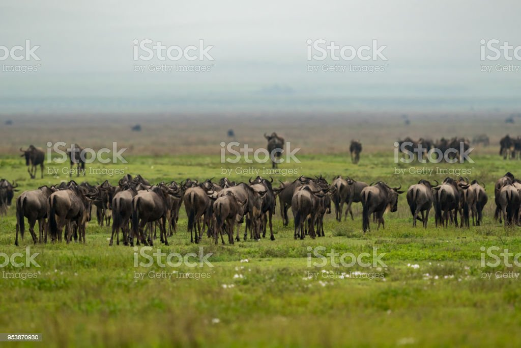 Line of white-bearded wildebeest migrate over grassland stock photo