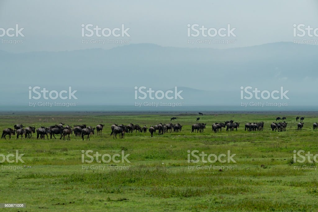 Line of white-bearded wildebeest migrate over savannah stock photo