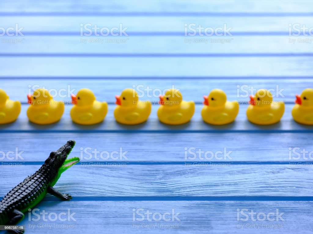 Line of yellow rubber ducks being viewed by a ferocious generic rubber toy crocodile, set on a blue wooden grained table. stock photo