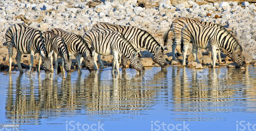 Line of Zebras with head down taking a drink with good reflection - Etosha National Park stock photo