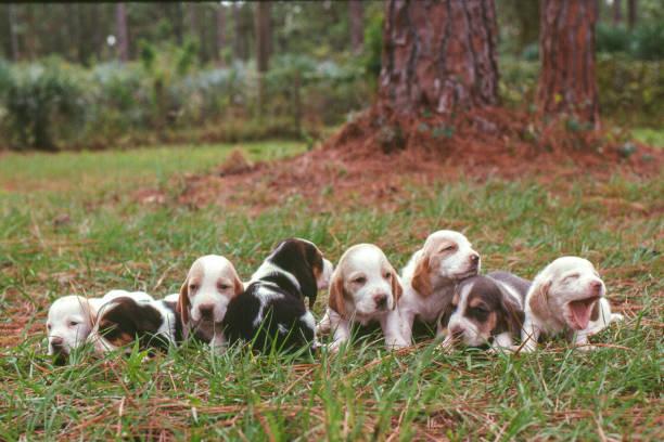 line up of bassett hound puppies - allevatore foto e immagini stock