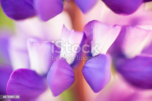 A close up capture of blooming lupins in a summer garden.