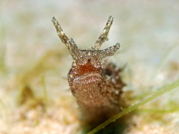 Lined Sea Hare, Seehase (Stylocheilus striatus) Underwater close-up photography of a lined sea hare. manado stock pictures, royalty-free photos & images
