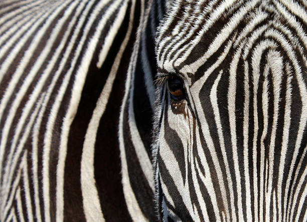 lines zebra abjure stock pictures, royalty-free photos & images