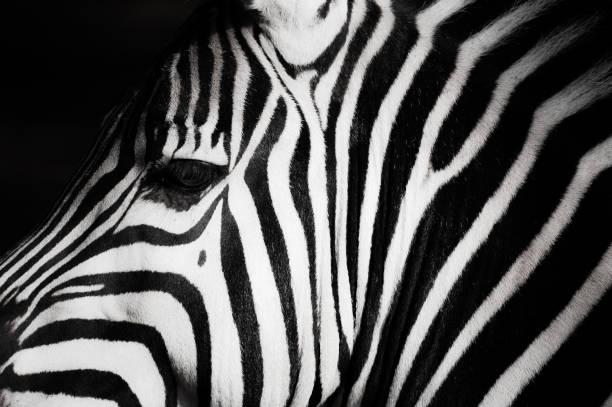 lines - padrões zebra imagens e fotografias de stock