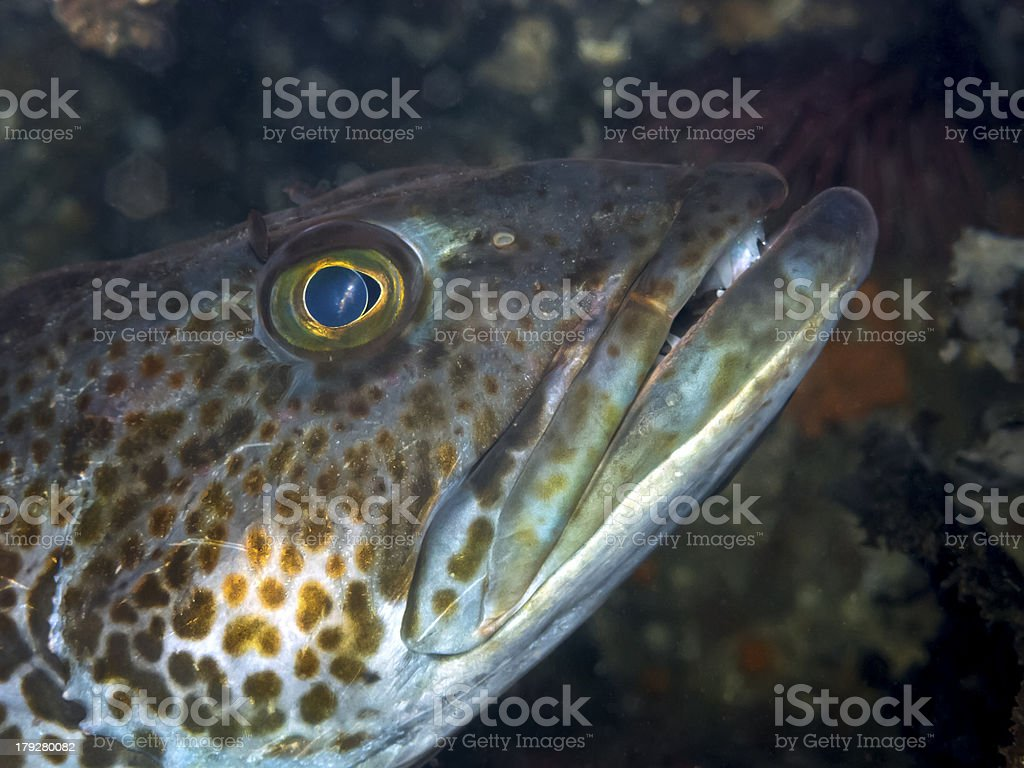 Ling Cod (Ophiodon elongatus) royalty-free stock photo