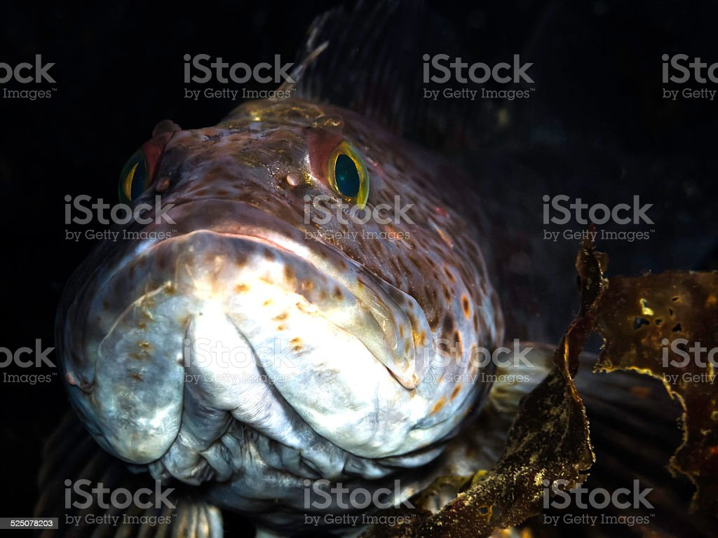 Ling Cod royalty-free stock photo