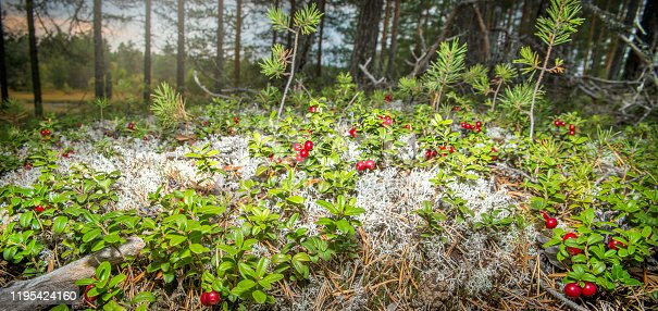 Lingonberries in the woods.