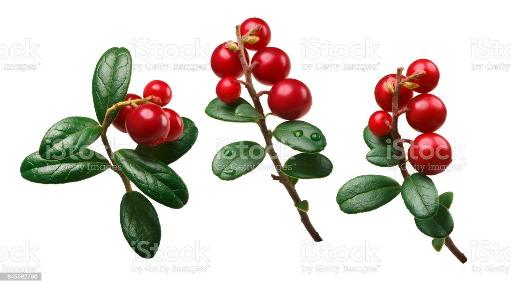 Lingonberry vaccinium vitis-idaea, paths stock photo