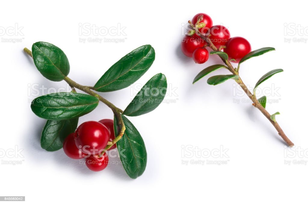 Lingonberry vaccinium vitis-idaea, top view, paths stock photo