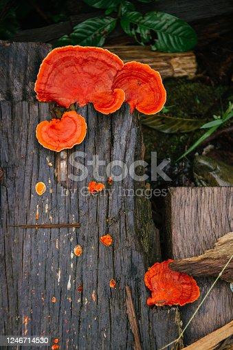 lingzhi mushroom growing on old wood, deep orange color, amazon