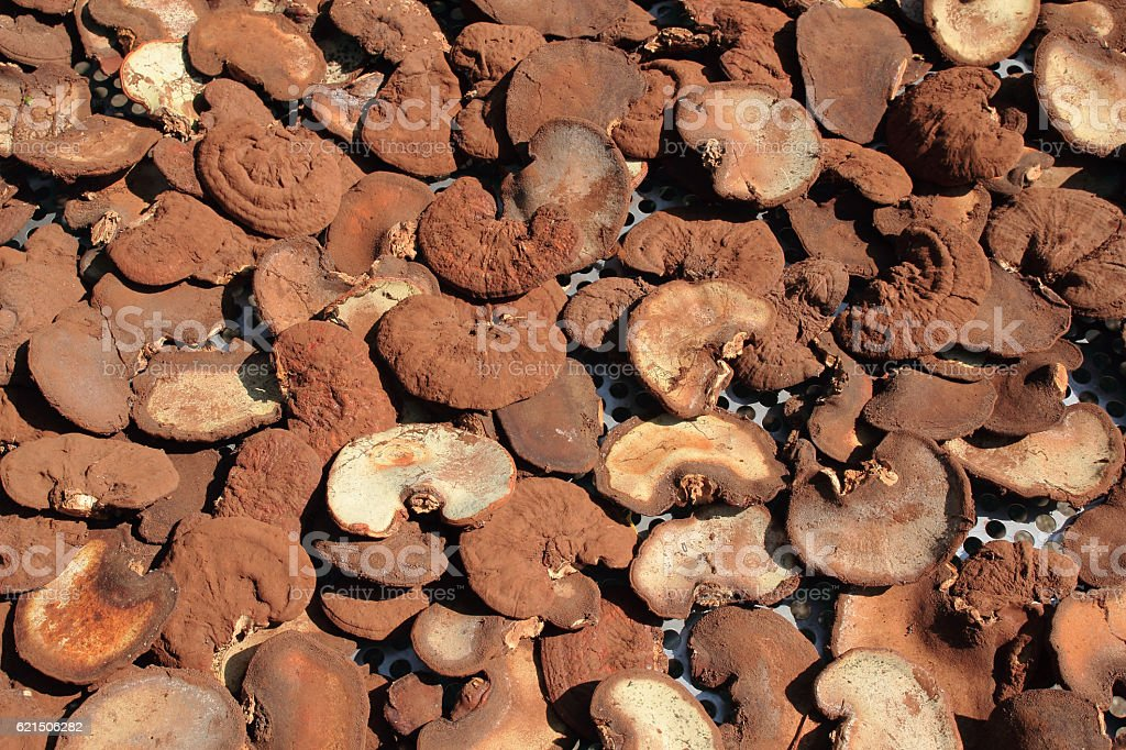 lingzhi mushrooms expose to the sun photo libre de droits