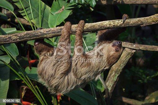 istock Linnaeus's two-toed sloth (Choloepus didactylus) 926636162