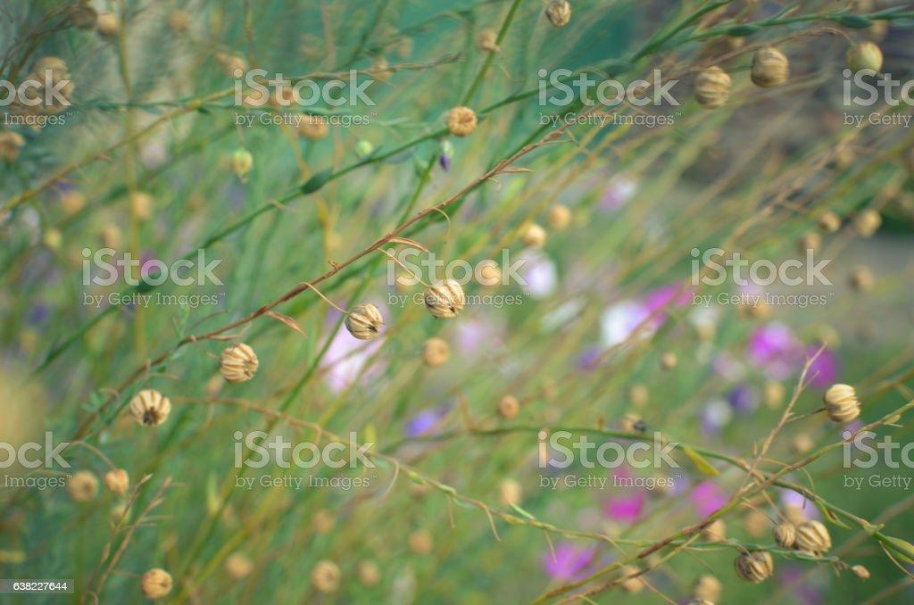 Linum macrorhizum decorative linen green plant stock photo