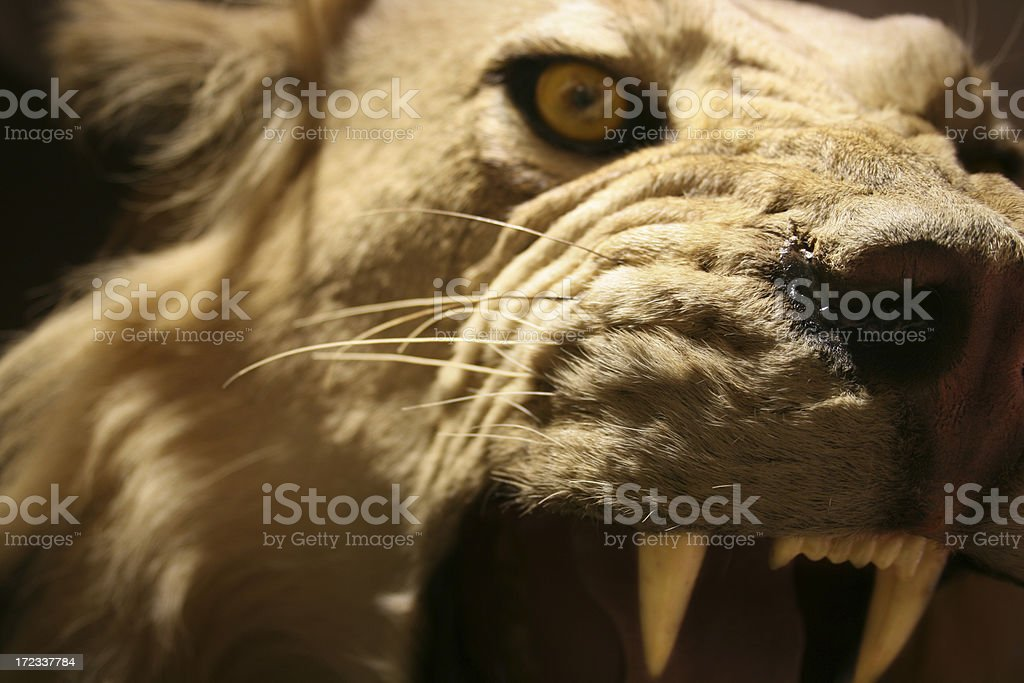 Lion 2 of 3 royalty-free stock photo