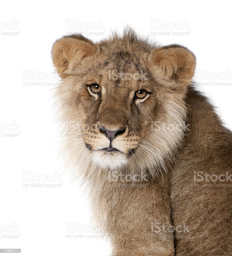 Lion, 9 months old, in front of a white background royalty-free stock photo
