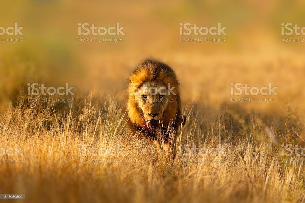 Lion African big cats pantera leo wildlife safari animals carnivore hunter stock photo