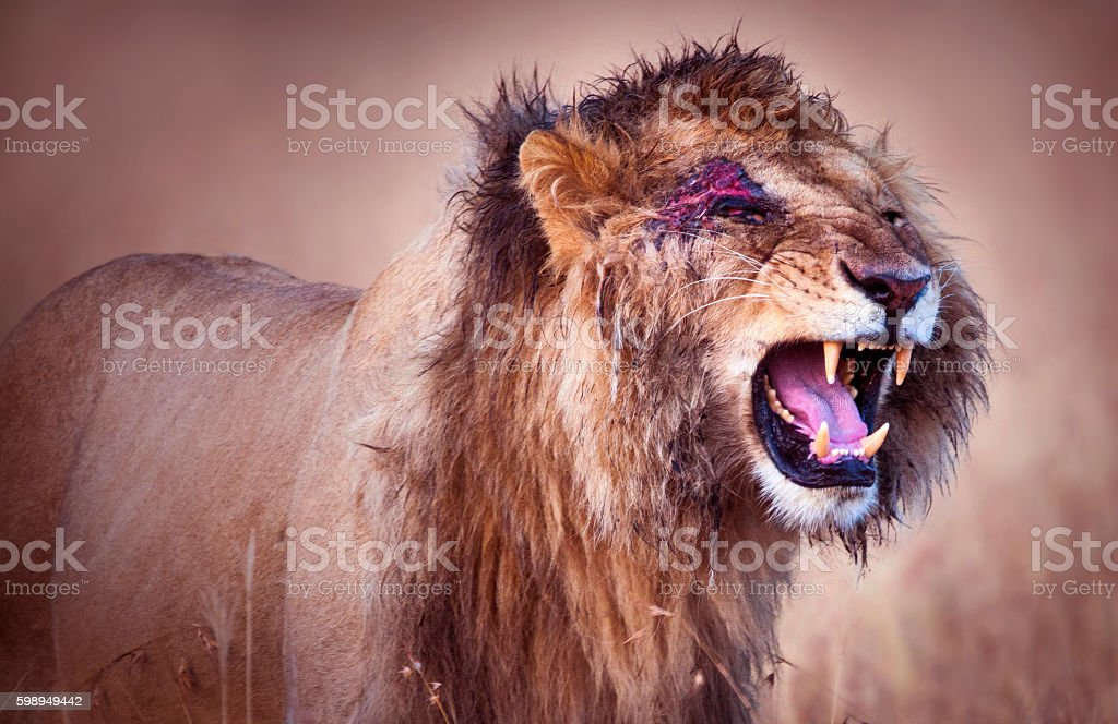 Lion after fight stock photo