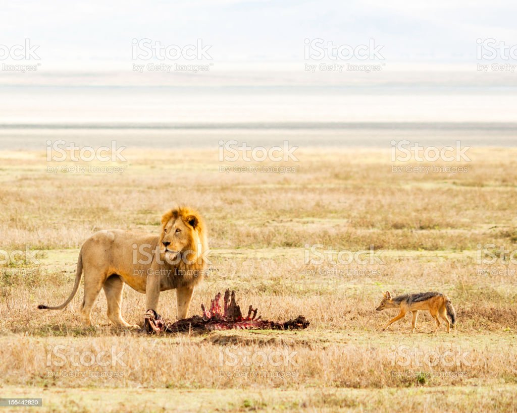 Lion & Prey in the Serengeti stock photo