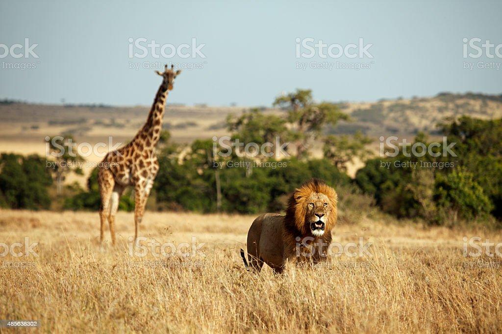 Lion and giraffe stock photo