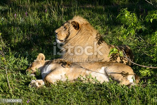 Lion and his lioness lie under the tree in safari park. View of the lion's couple relaxing on the grass. Romantic relationships in the wild.