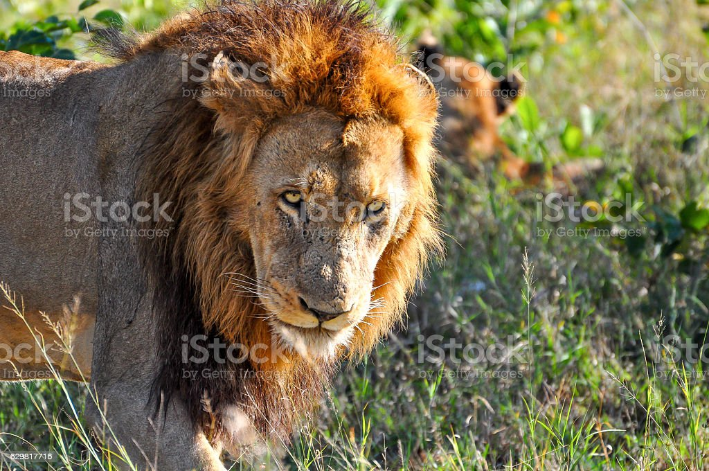 Lion and His Pride stock photo