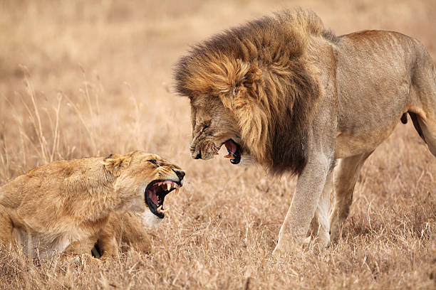 Lion and Lioness Fighting