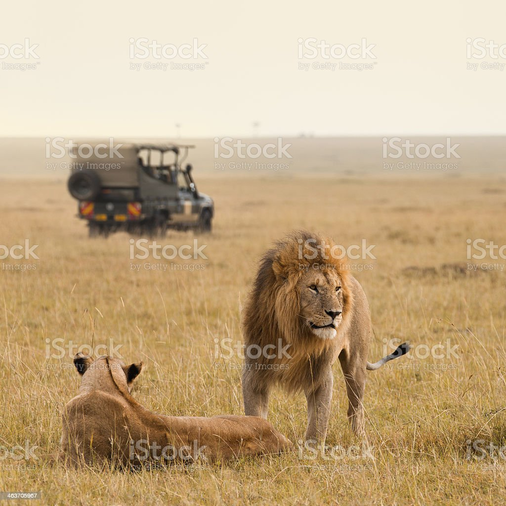 A lion and lioness in an African savannah with a jeep stock photo