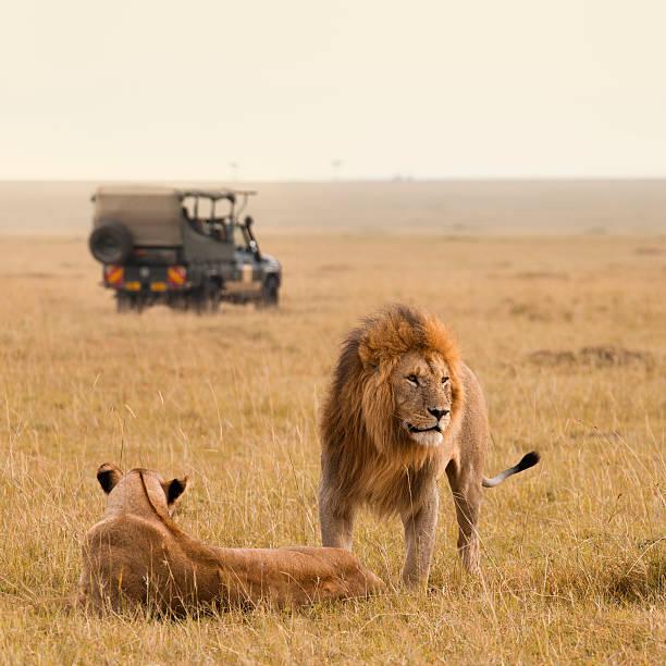 Pareja African lion safari en jeep y - foto de stock