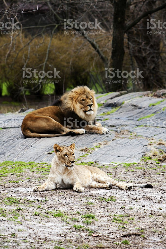 Lion and Lioness laying together royalty-free stock photo