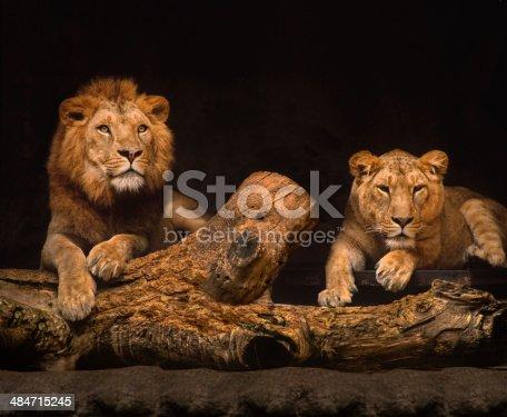 Portrait of a lion and lioness