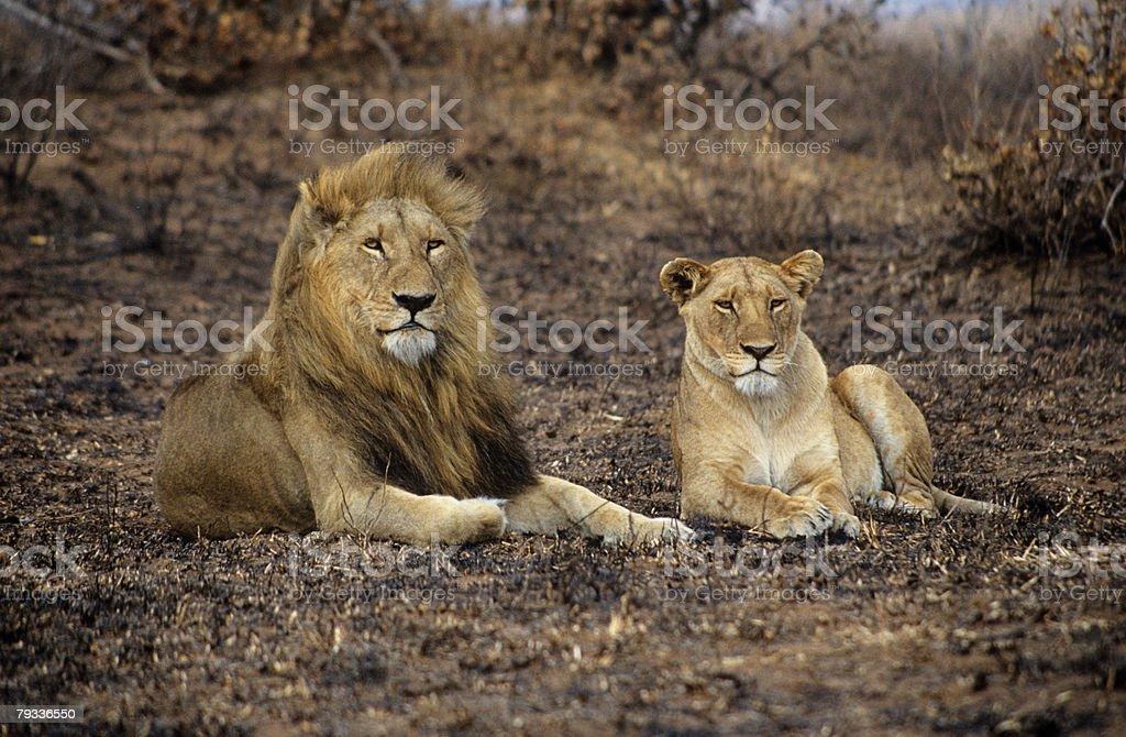 Lion 및 암사자 royalty-free 스톡 사진