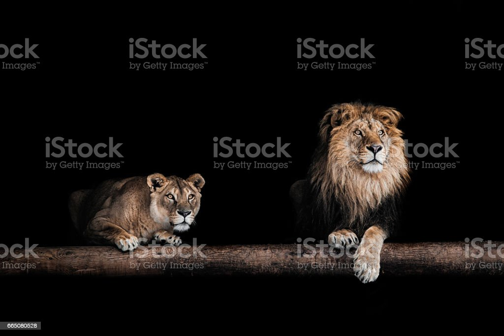 Lion et lionne, Portrait de très belle villa aux lions, lions dans l'obscurité - Photo